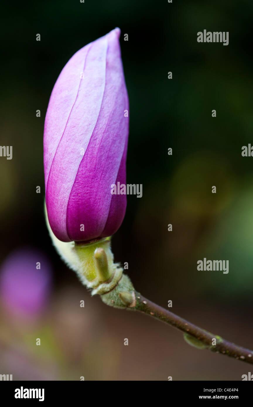 Magnolia Eleanor Mai, Blütenknospe aus Gehäuse Stockbild
