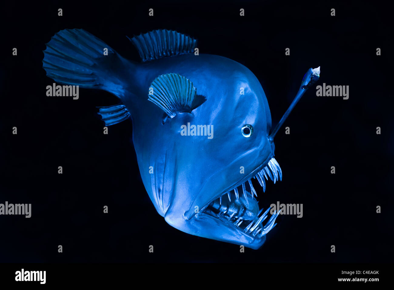 Tiefseefisch, Schwarzangler oder Buckliger Anglerfisch (- Melanocetus-Johnsonii), Buckelwale Seeteufel Deep sea Stockbild
