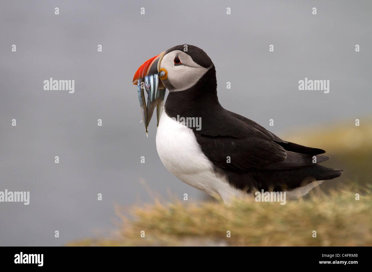 Puffin, Fratercula Arctica, blickt zurück auf das Meer Stockbild