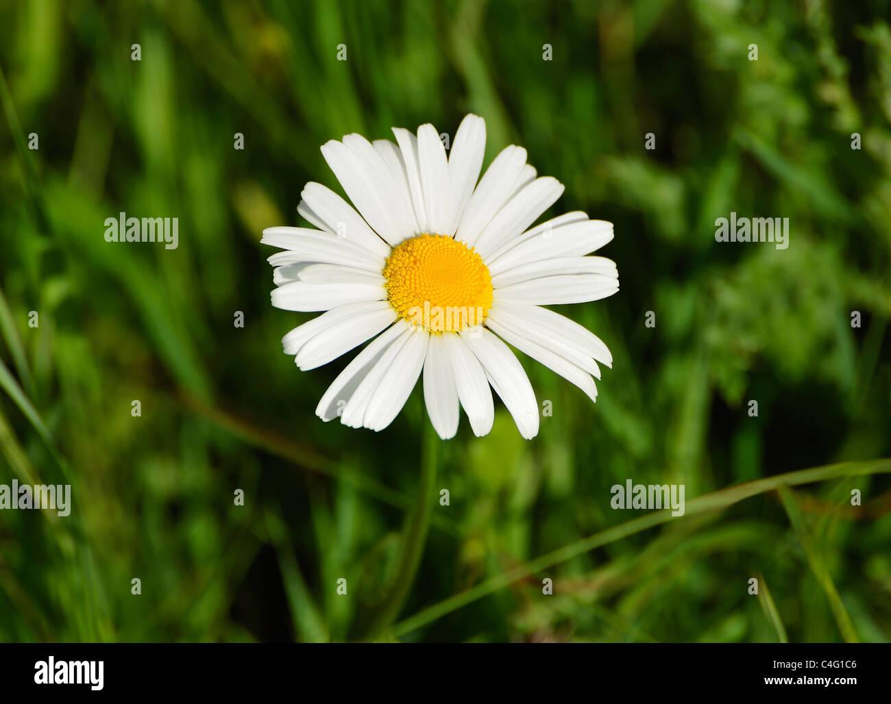 WILD DAISY Stockbild