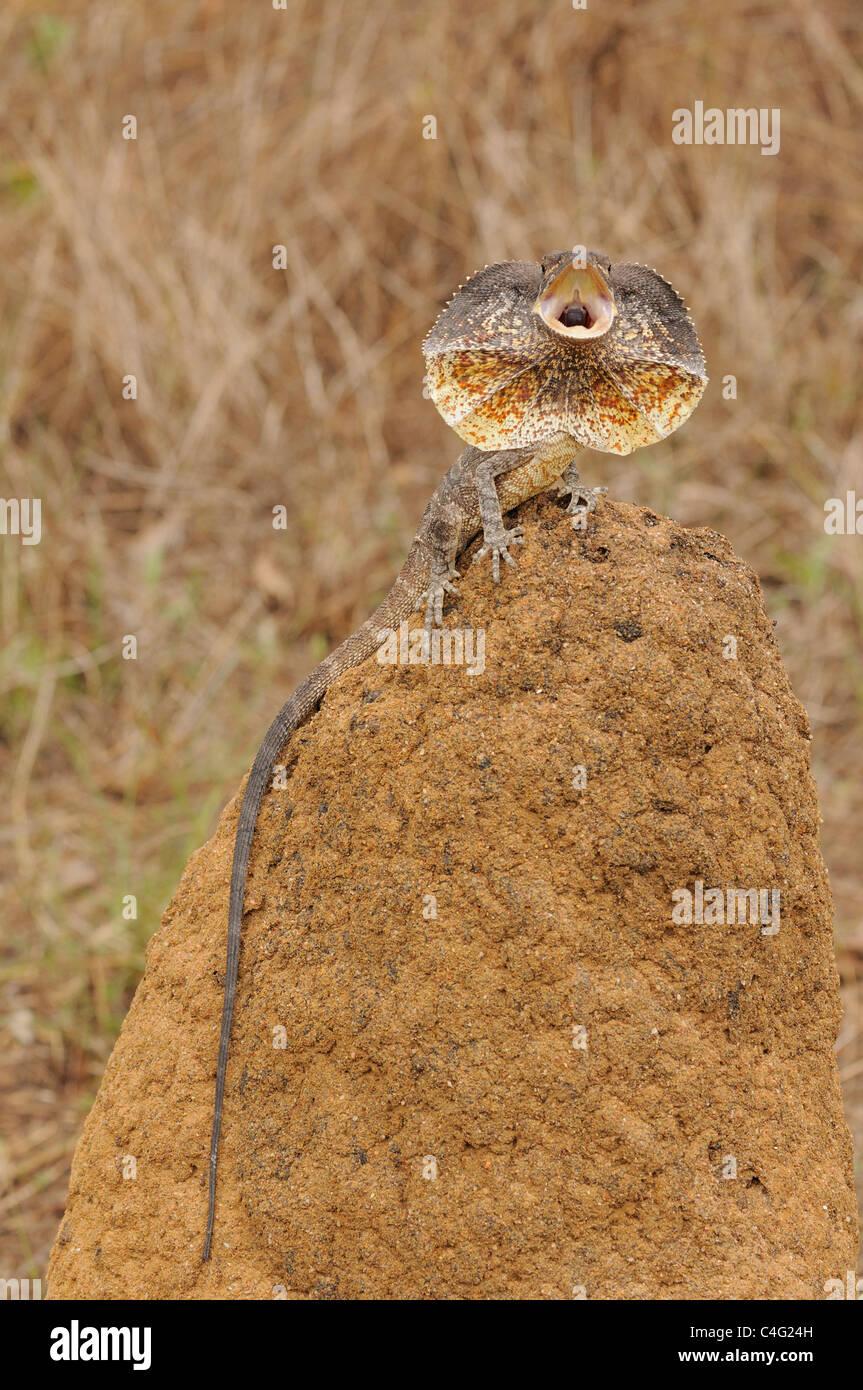 Gewundene Eidechse Chlamydosaurus Kingii Bedrohung zeigen Bilder aus dem Monat in Nord-Queensland, Australien Stockbild