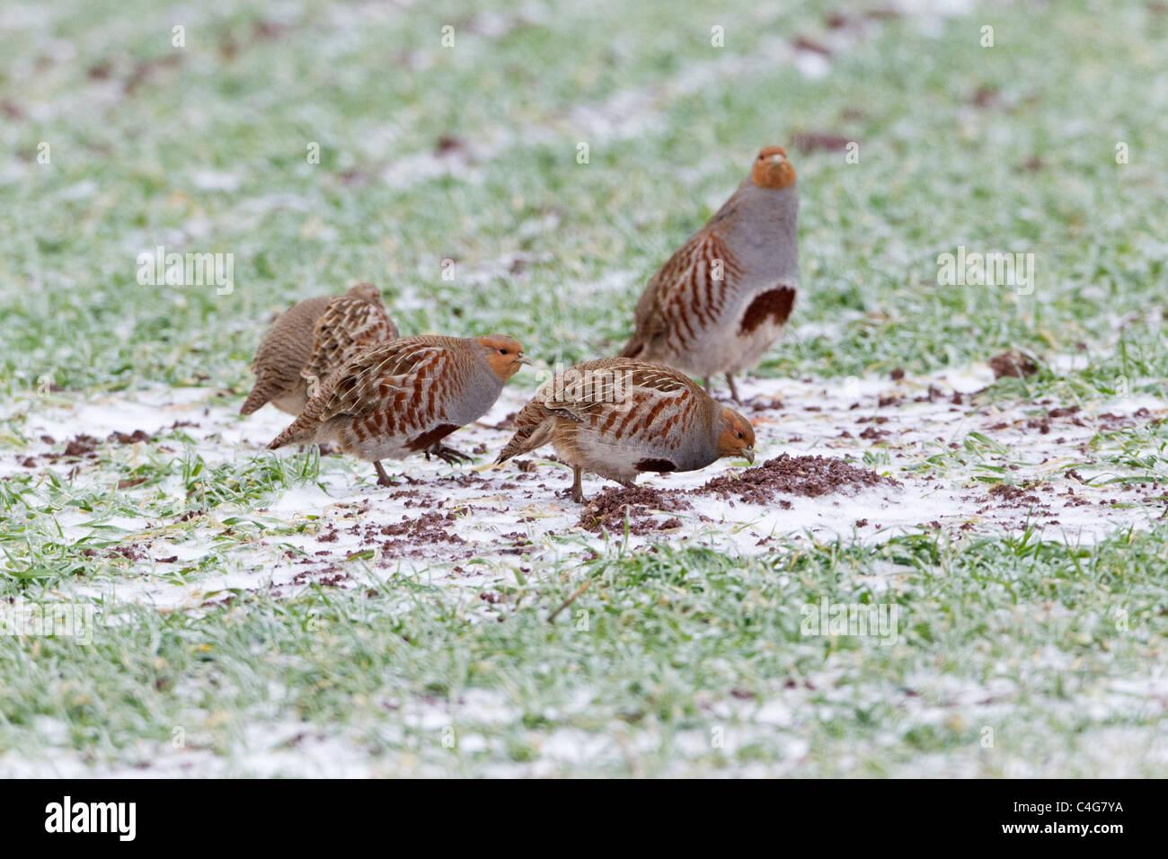 Graues Rebhuhn (Perdix Perdix), vier Vögel auf der Suche nach Nahrung auf Maisfeld im Winter, Niedersachsen, Stockbild