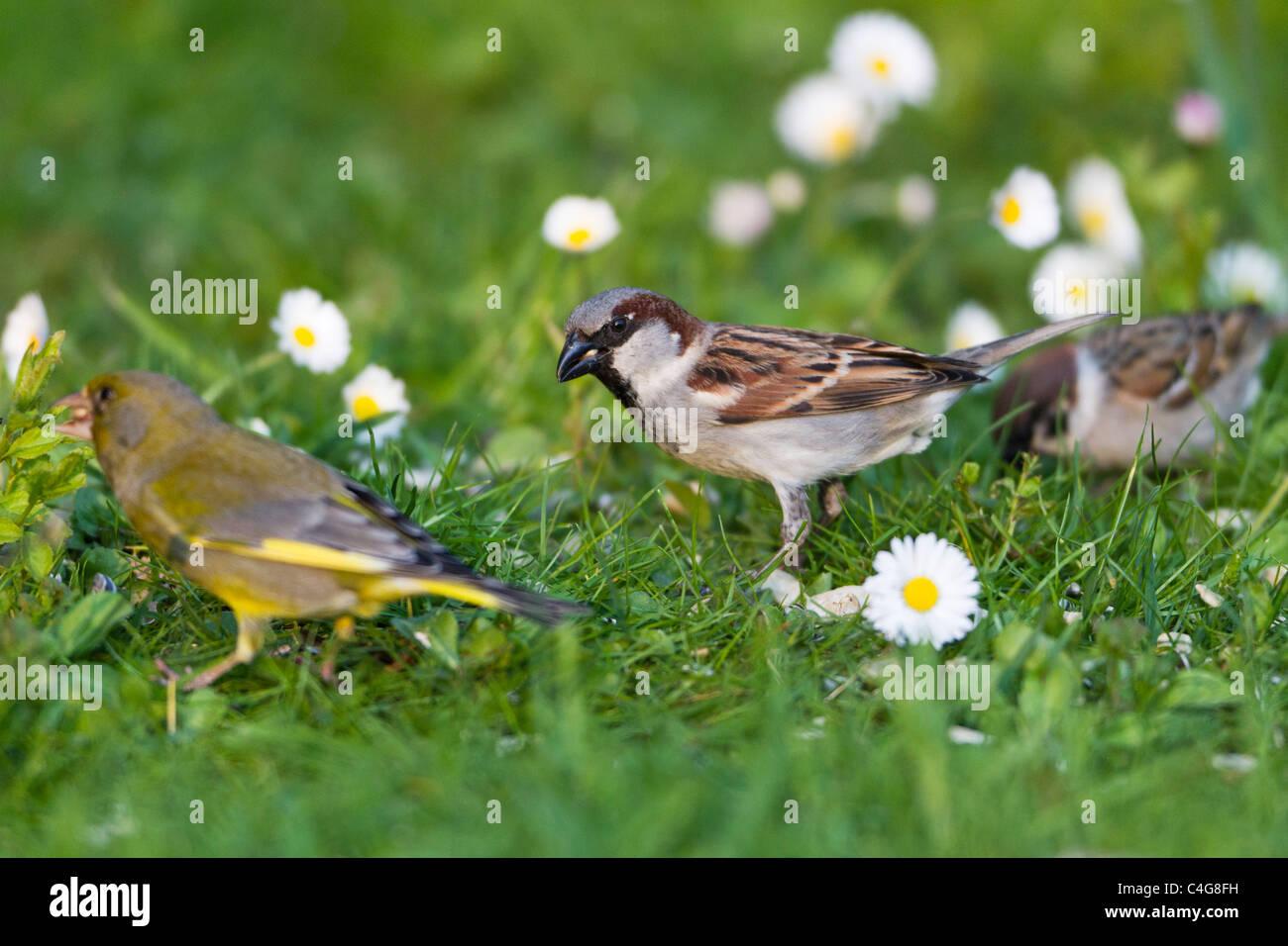 Haussperling (Passer Domesticus), männliche Fütterung auf Rasen im Garten mit anderen Vögel, Niedersachsen, Stockbild