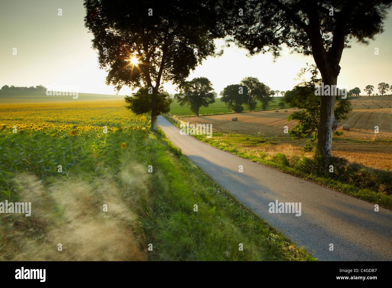 ein Feld von Sonnenblumen im Wind in der Nähe von Castelnaudary, Aude, Languedoc-Roussillon, Frankreich Stockbild