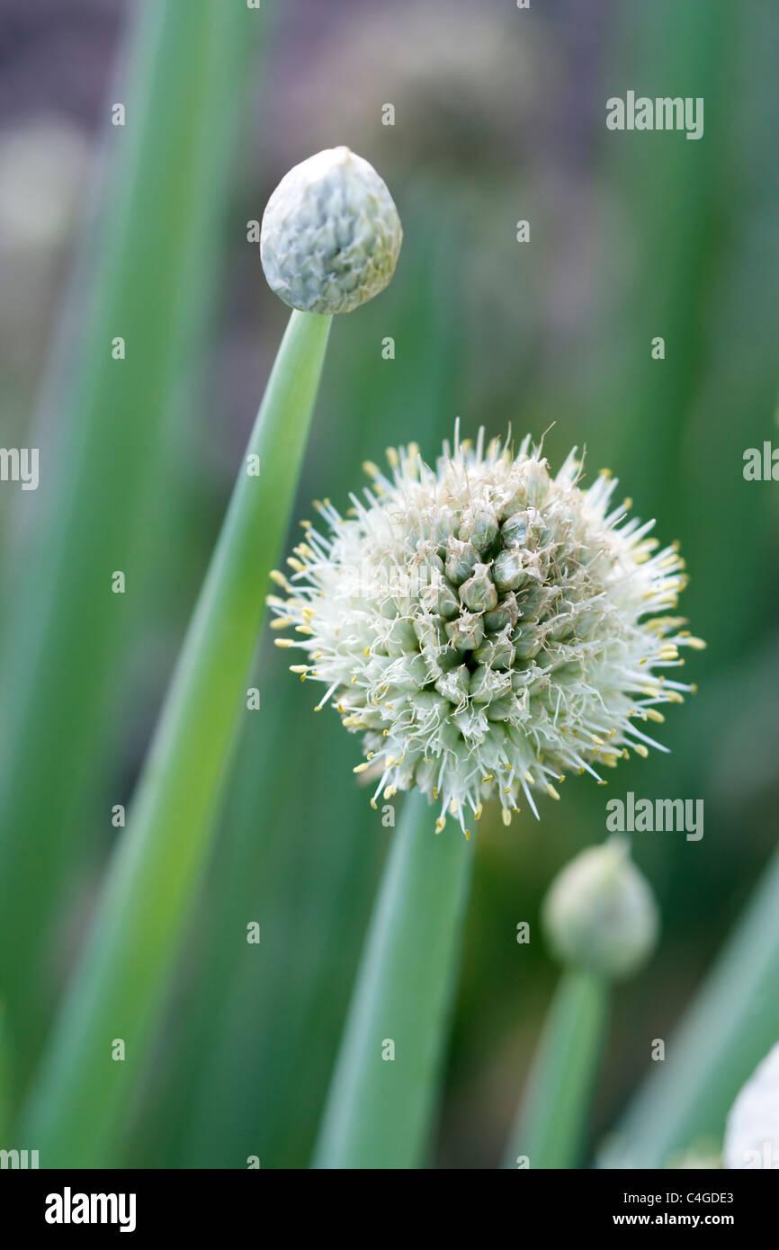 Selektiven Fokus Bild einer blühenden Zwiebel (Allium Cepa). Stockbild