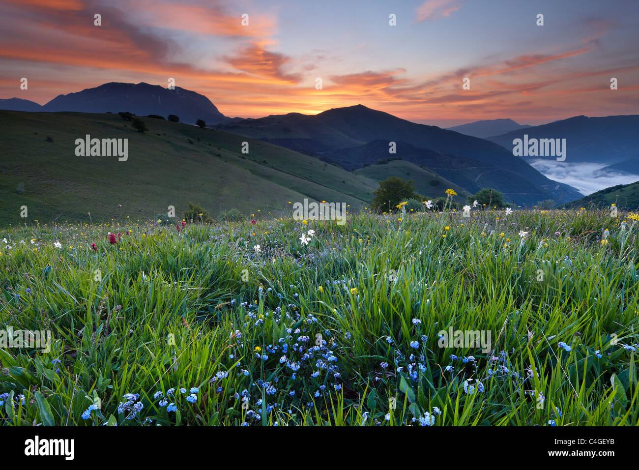 Monte Vettore und die Wildblumen auf Forca Canapine im Morgengrauen, Nationalpark Monti Sibillini, Umbrien, Italien Stockfoto