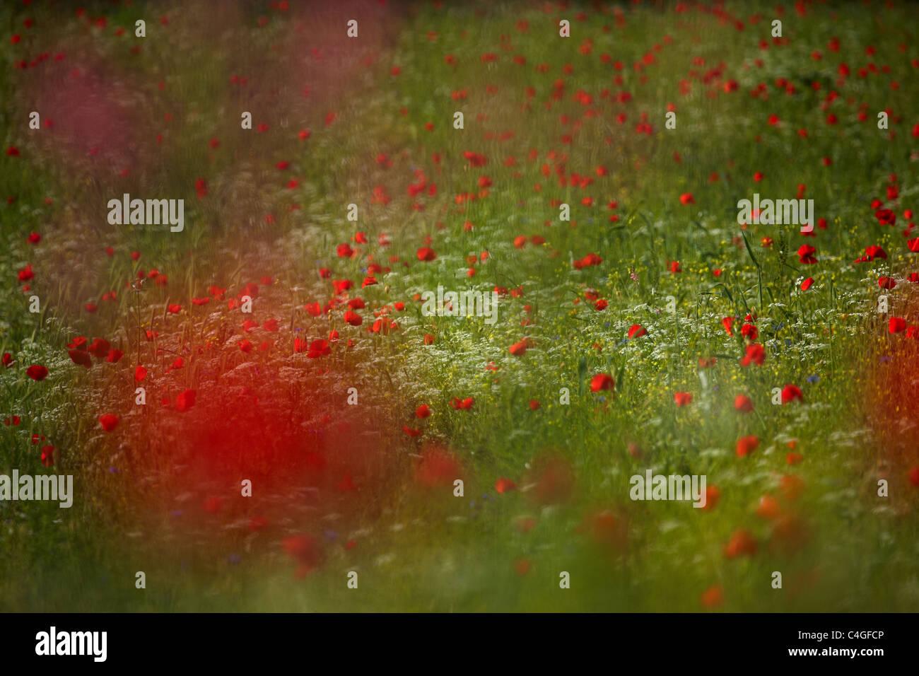 Mohn in der Valnerina Nr. Campi, Umbrien, Italien Stockbild
