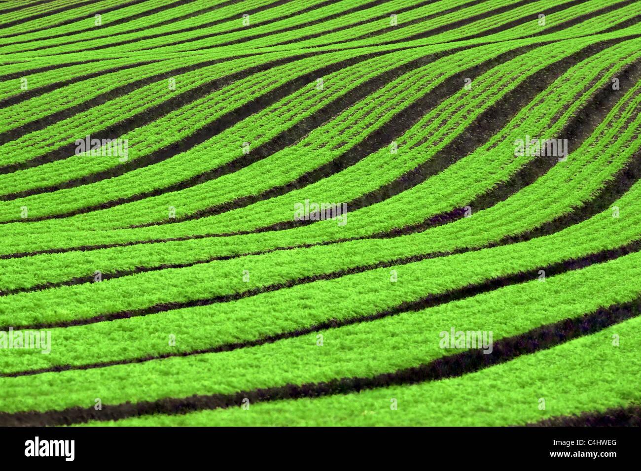 Reihen von Karotten ernten Stockfoto
