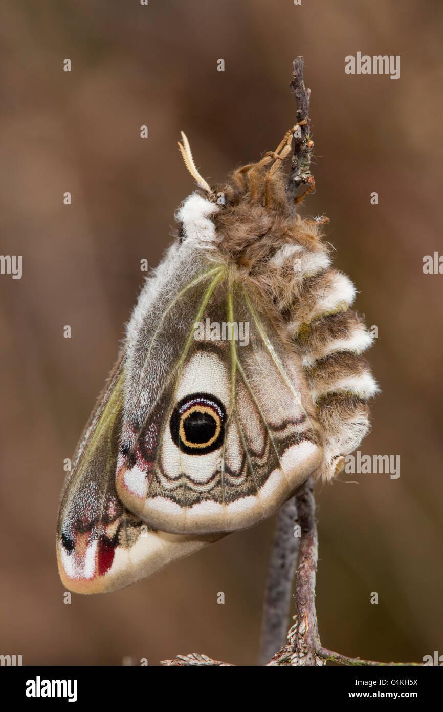 Kaiser-Motte; Saturnia Pavonia; Weibchen tauchte vor kurzem Stockbild