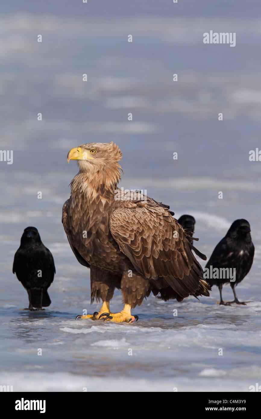 Seeadler / Sea Eagle / Erne (Haliaeetus Horste) und Rabenkrähen (Corvus Corone) auf zugefrorenen See im Winter, Stockbild