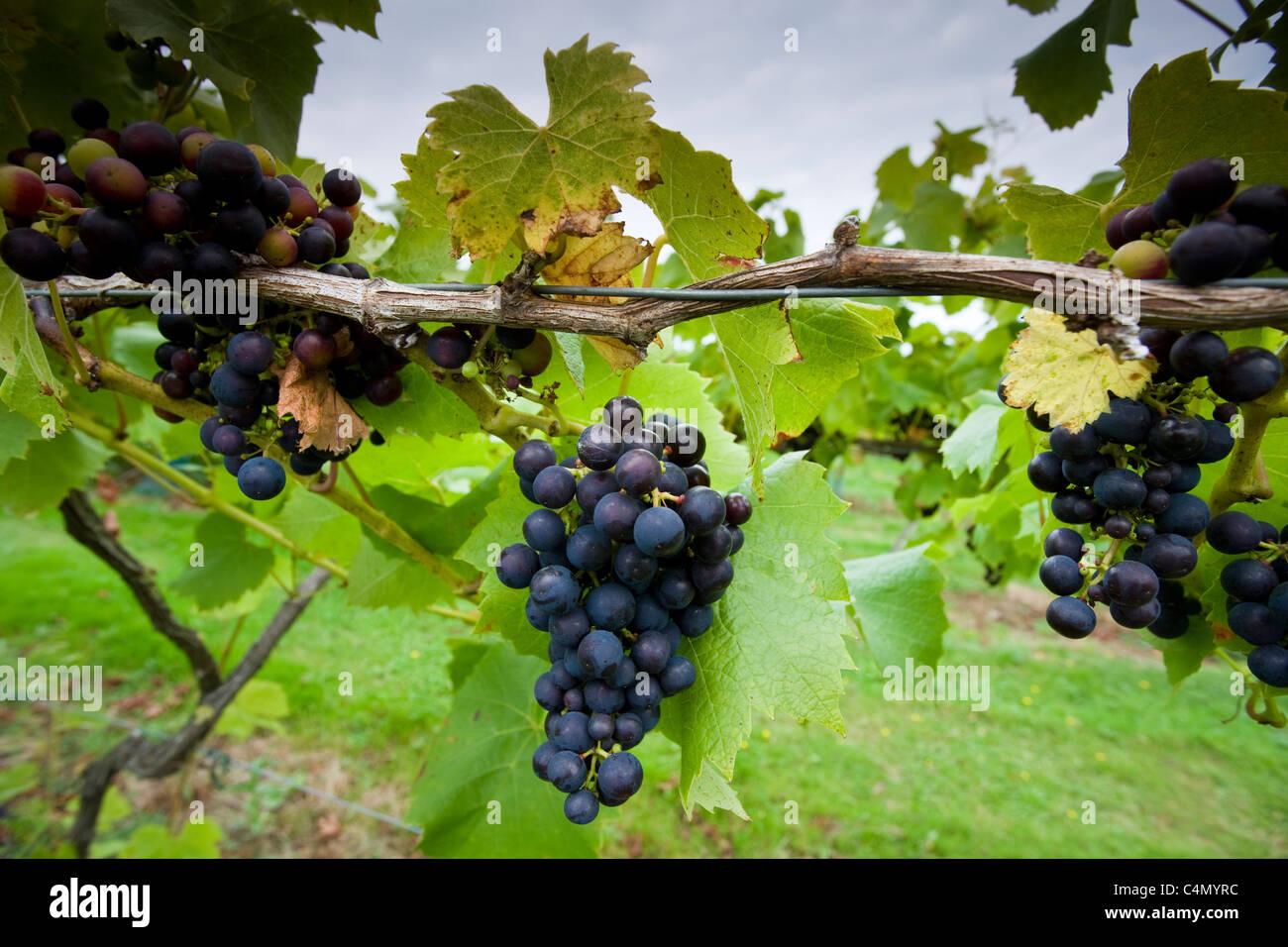 Schwarze Trauben Reichensteiner an Weinreben für die britische Weinproduktion an die drei Chöre Weinberg, Stockbild