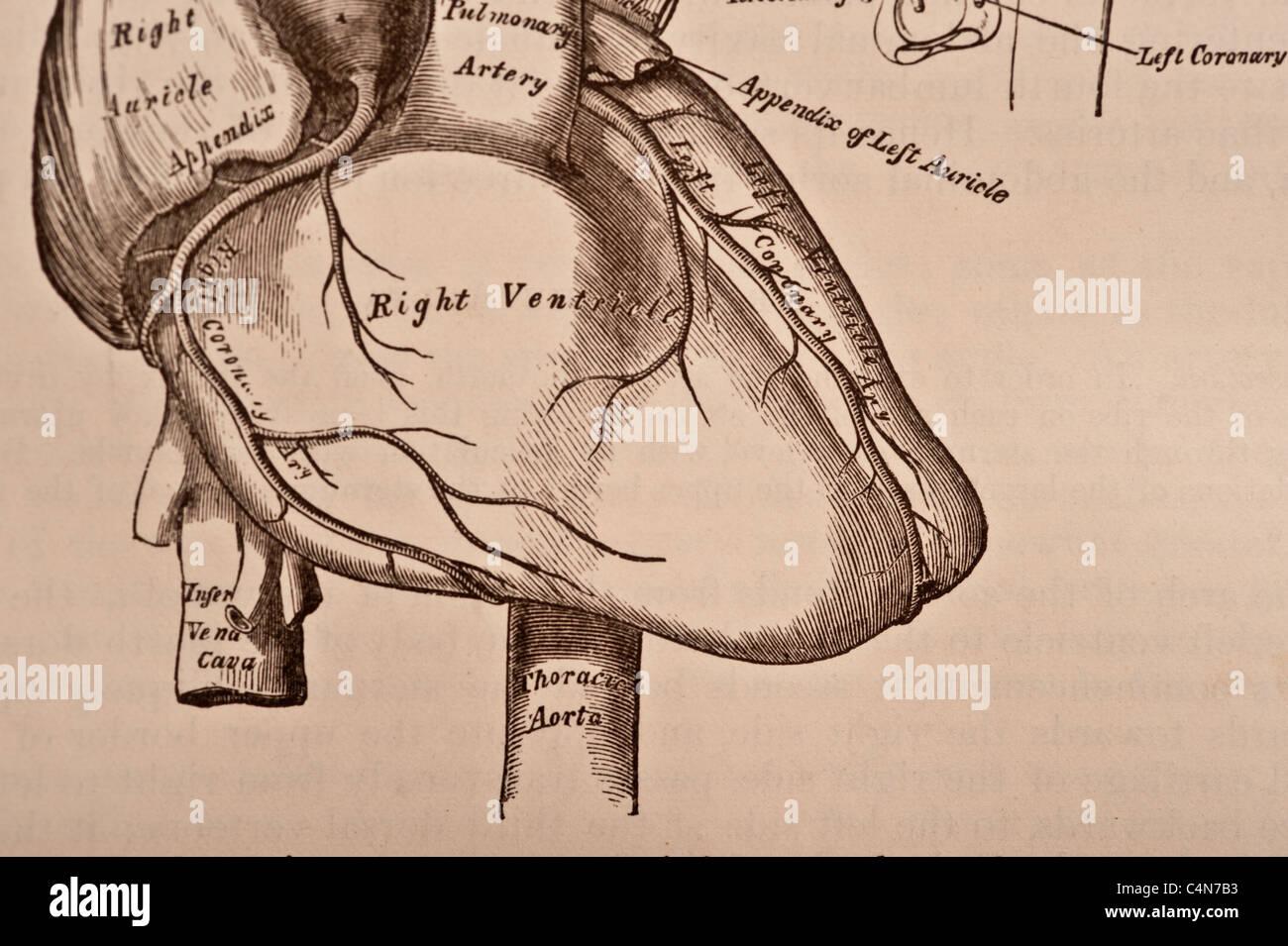Antike medizinische Illustration eines menschlichen Herzens und Herz ...