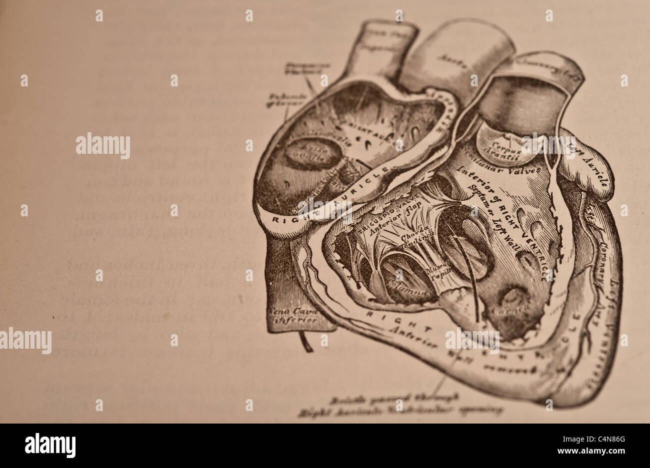 Charmant Menschliches Herz Teile Zeitgenössisch - Menschliche ...
