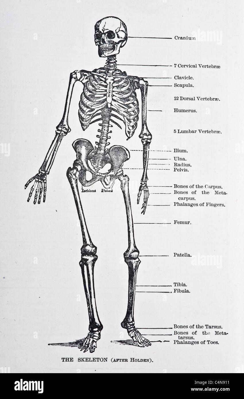 Gemütlich Anatomie Und Physiologie Diagramm Des Menschlichen Körpers ...