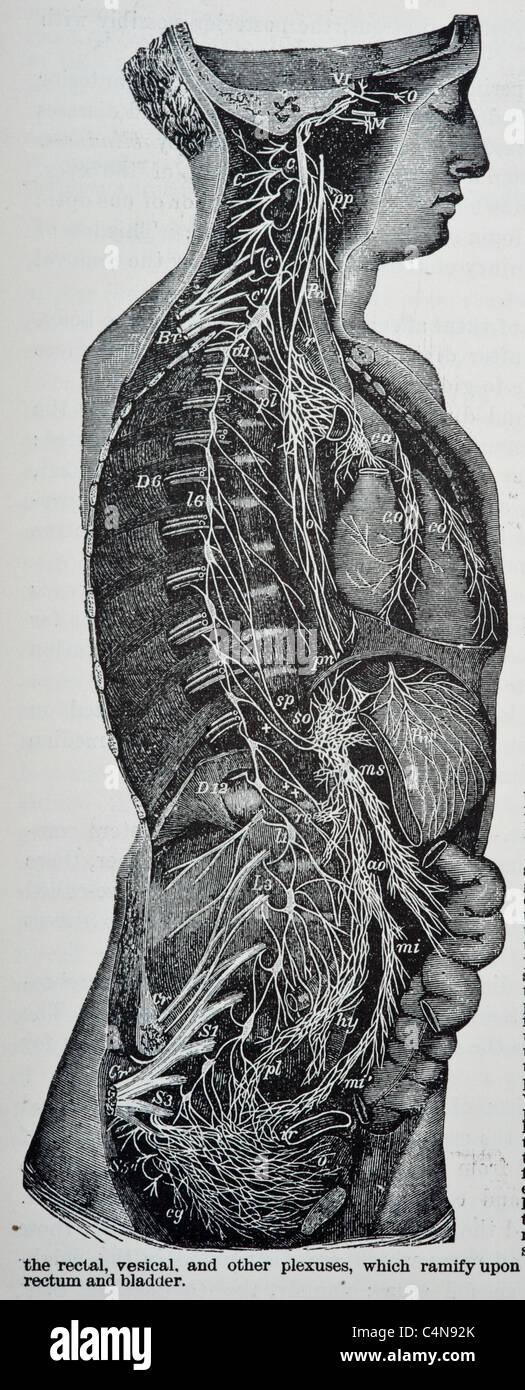 The Gastrointestinal Tract Stockfotos & The Gastrointestinal Tract ...