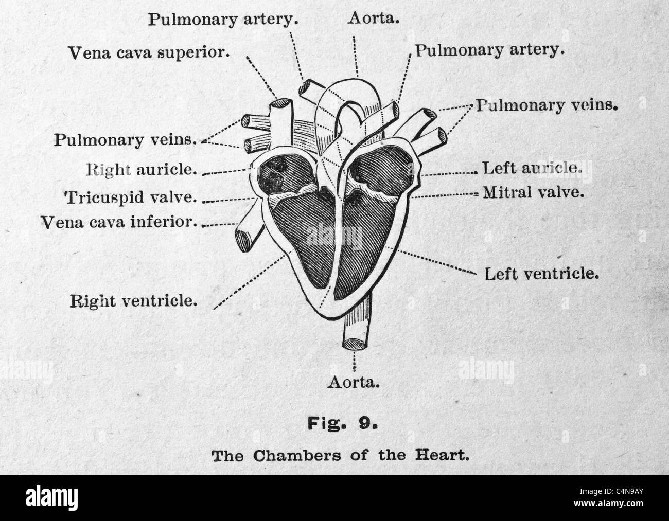 Großartig Diagramm Des Menschlichen Herzens Galerie - Menschliche ...