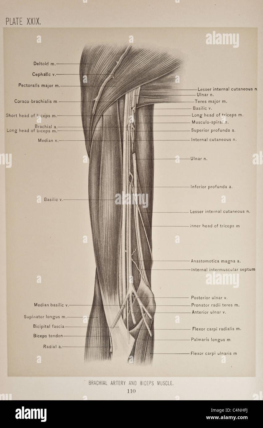 Radial Nerve Hand Stockfotos & Radial Nerve Hand Bilder - Alamy