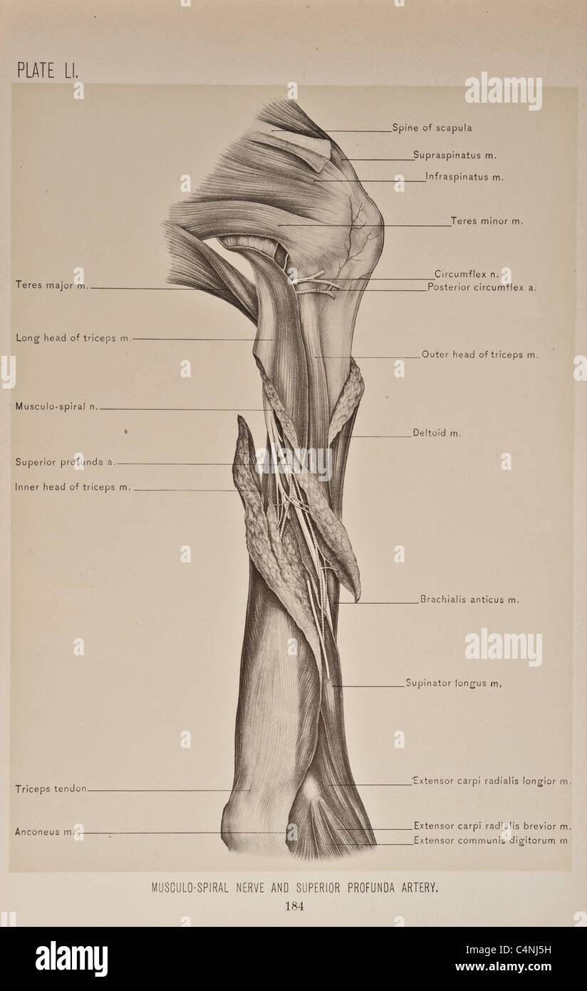 Fantastisch Venöse Anatomie Des Armes Zeitgenössisch - Anatomie ...