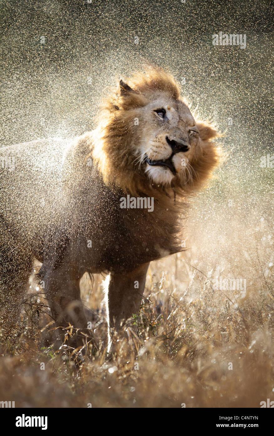 Männlicher Löwe, schütteln Sie das Wasser nach einem Regenguss - Krüger Nationalpark - Südafrika Stockbild