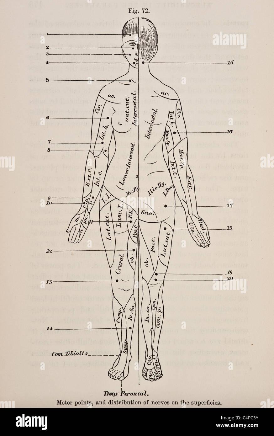 Groß Koronararterie Verteilung Anatomie Zeitgenössisch - Menschliche ...
