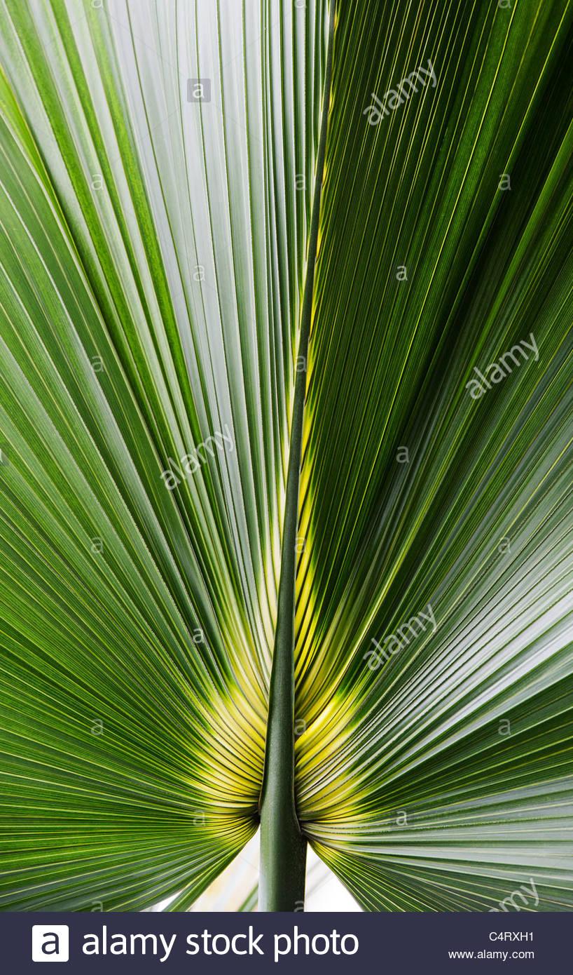 Bermuda-Palmetto. Sabal Bermudana. Bibby Baum Blatt Stockbild