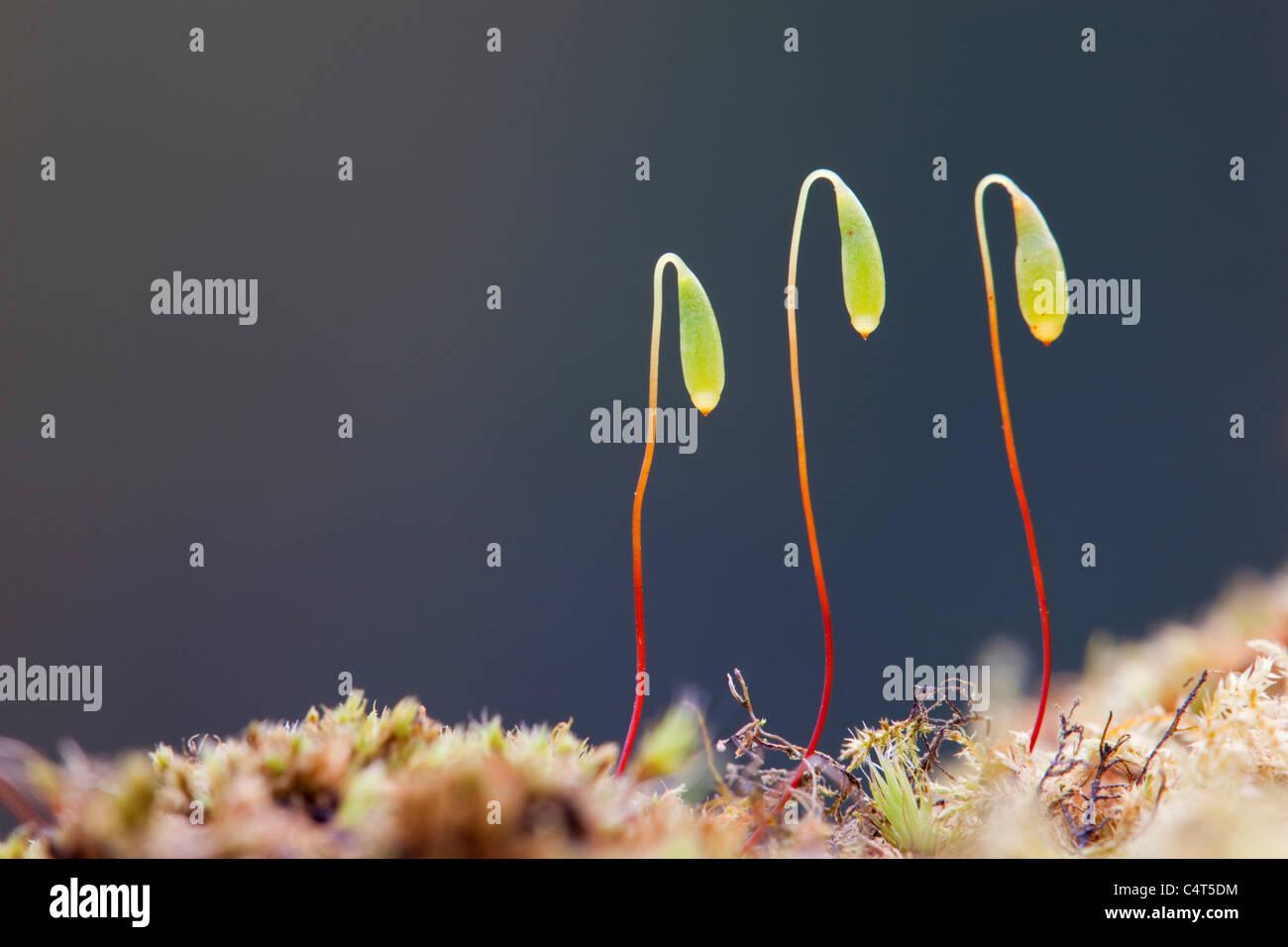 Moos-Spore-Kapsel; Bryum capillare Stockbild