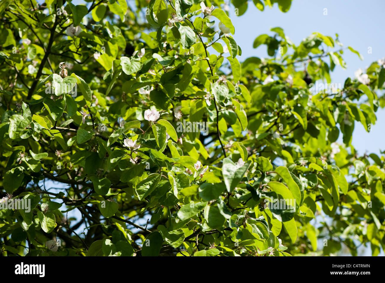 Cydonia Oblonga 'Vranja', Quitte Baum in Blüte Stockbild