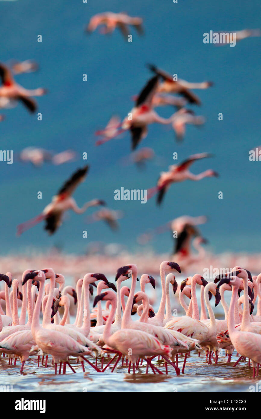 Lesser Flamingo (Phoenicopterus minor) am See Bogoria.Kenya Stockbild