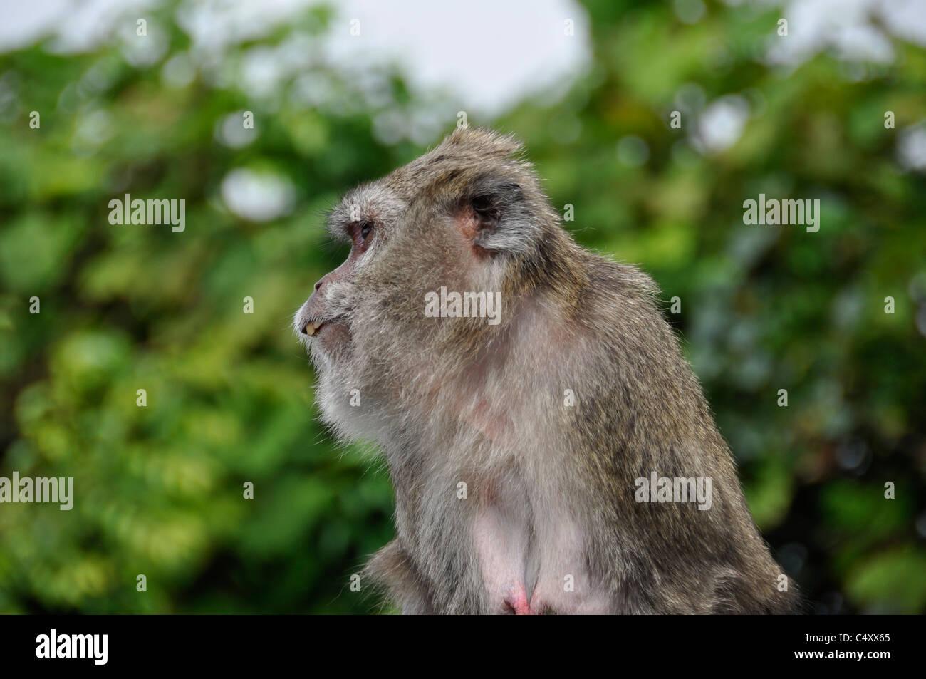 Profil d ' un Singe mauricien Stockbild