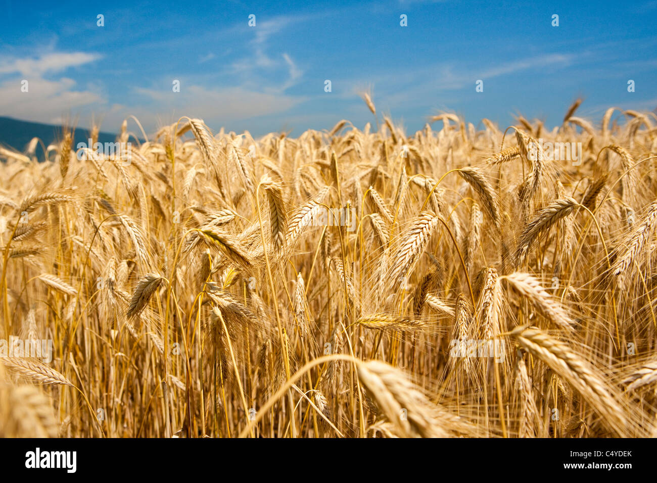Einem abfallenden Hügel, bedeckt von einem Weizenfeld, begleitet mit einem wolkenlosen Himmel Stockbild