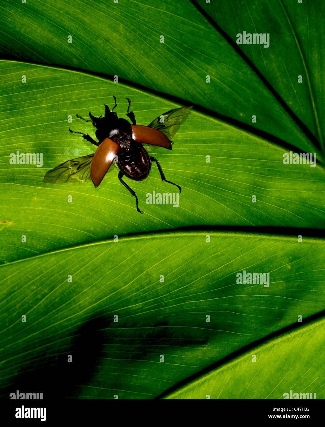 Eine tropische Käfer Bug auf einem hellen grünen Blatt Stockbild