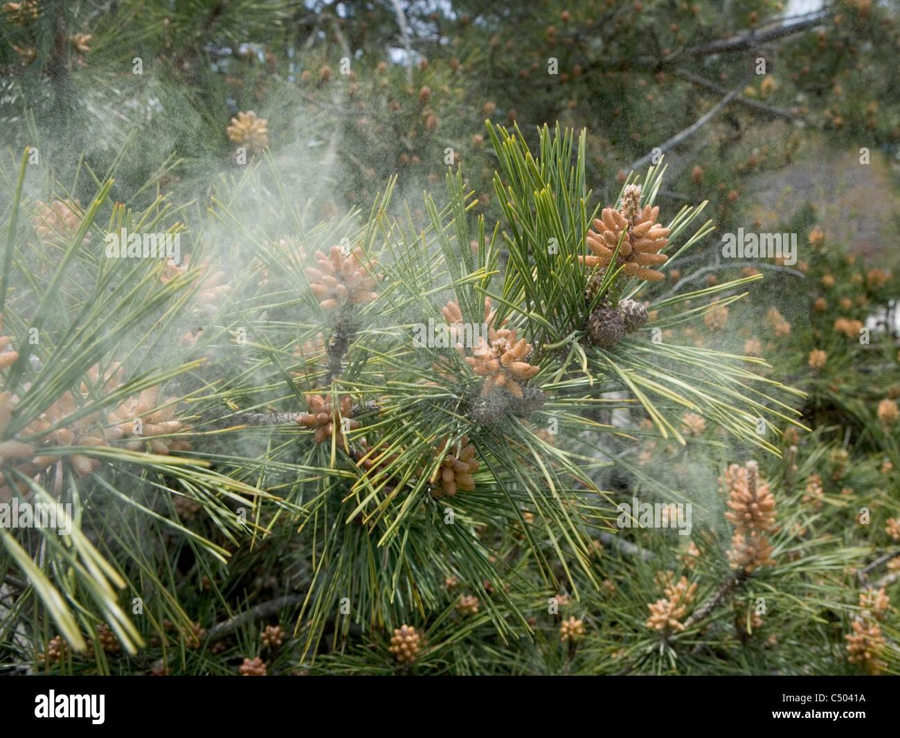 pollen von einer tanne im wind fallen stockfoto, bild: 37497190 - alamy