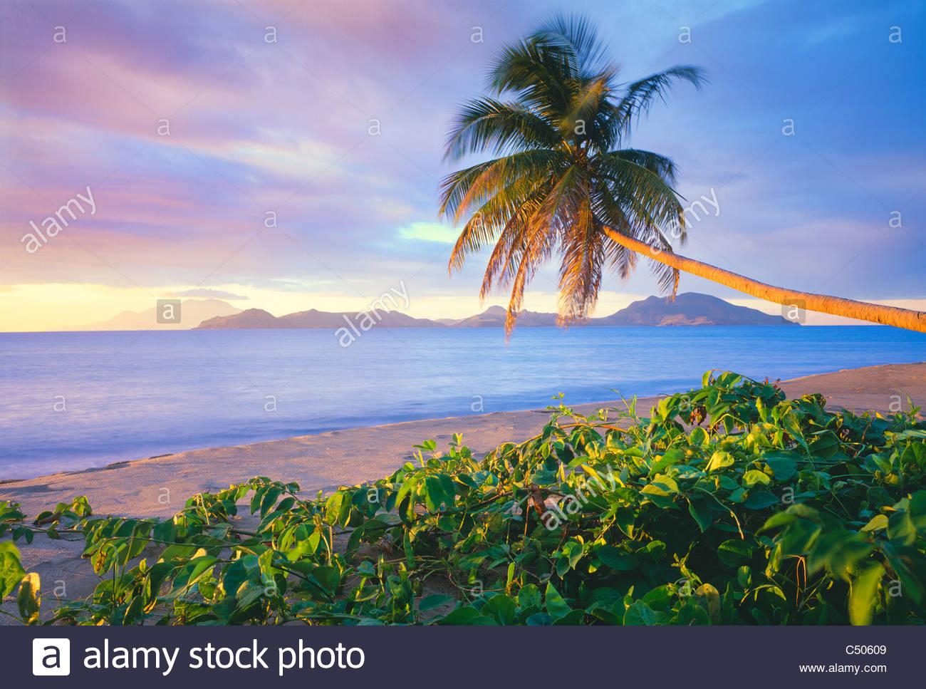 Palme auf Pinney Strand, mit Insel St. Kitts in Ferne. Insel Nevis, Leeward-Inseln, kleine Antillen, Caribbean. Stockbild