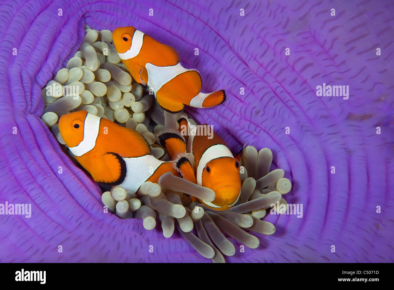 Falsche Clownfische, Lighthouse Reef, Cabilao Island, Philippinen, Pazifik Stockbild