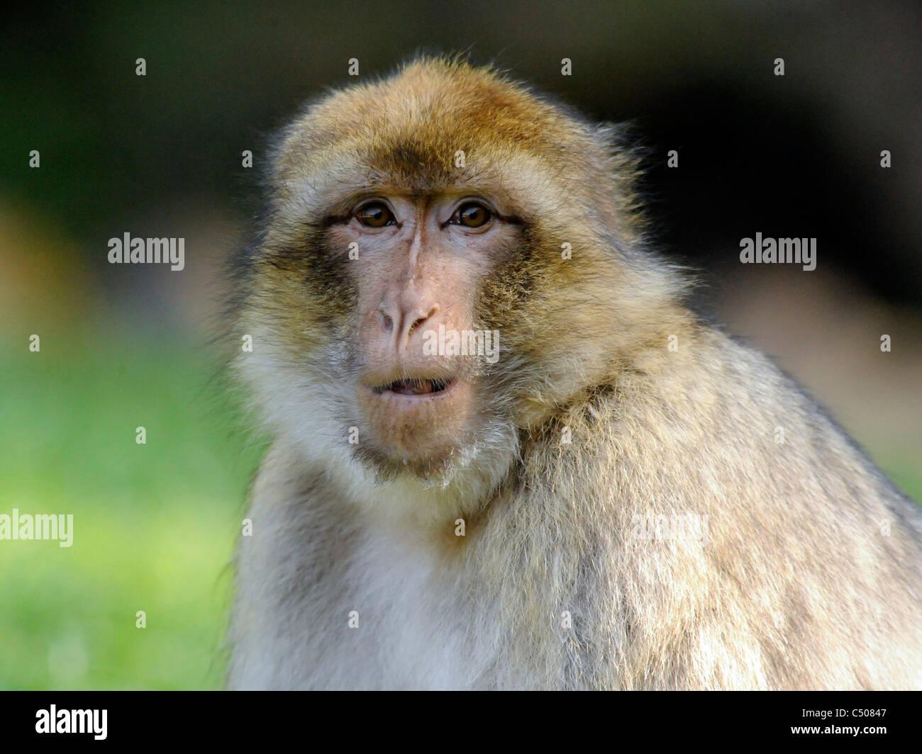Das Gesicht von einem Barbary Affe, Makaken Silvanus. Stockbild