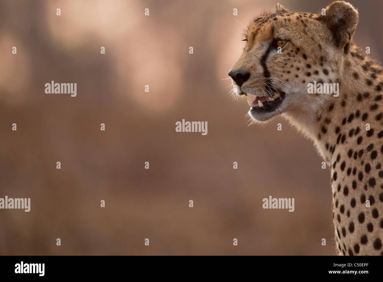 Gepard (Acinonyx Jubatus) Porträts am Orpen, Krüger Nationalpark, Südafrika Stockbild