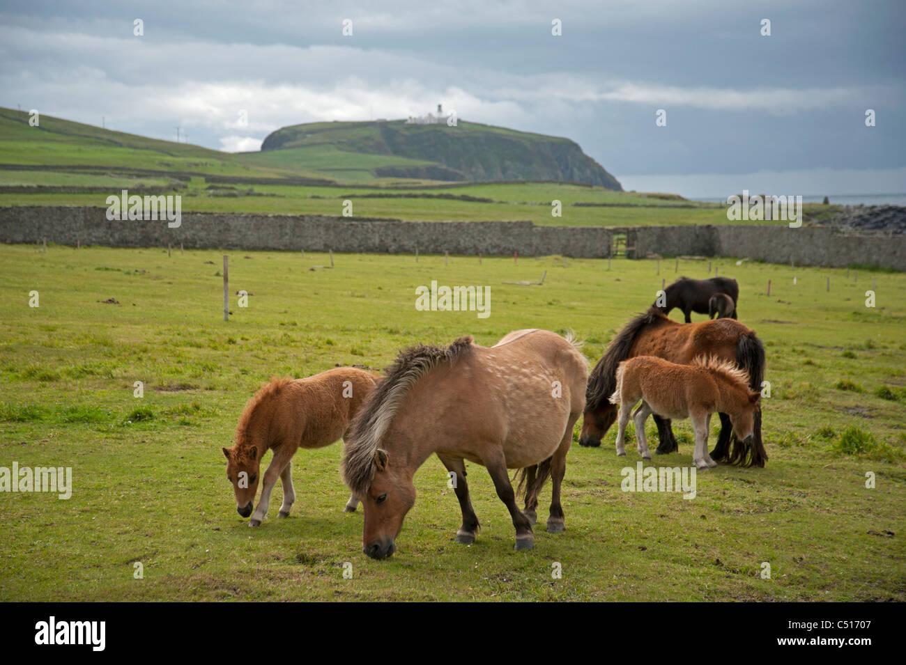 Shetland-Ponys grasen auf einer Koppel in der Nähe von Brücke von Wänden, Mainland, Shetland. SCO Stockbild