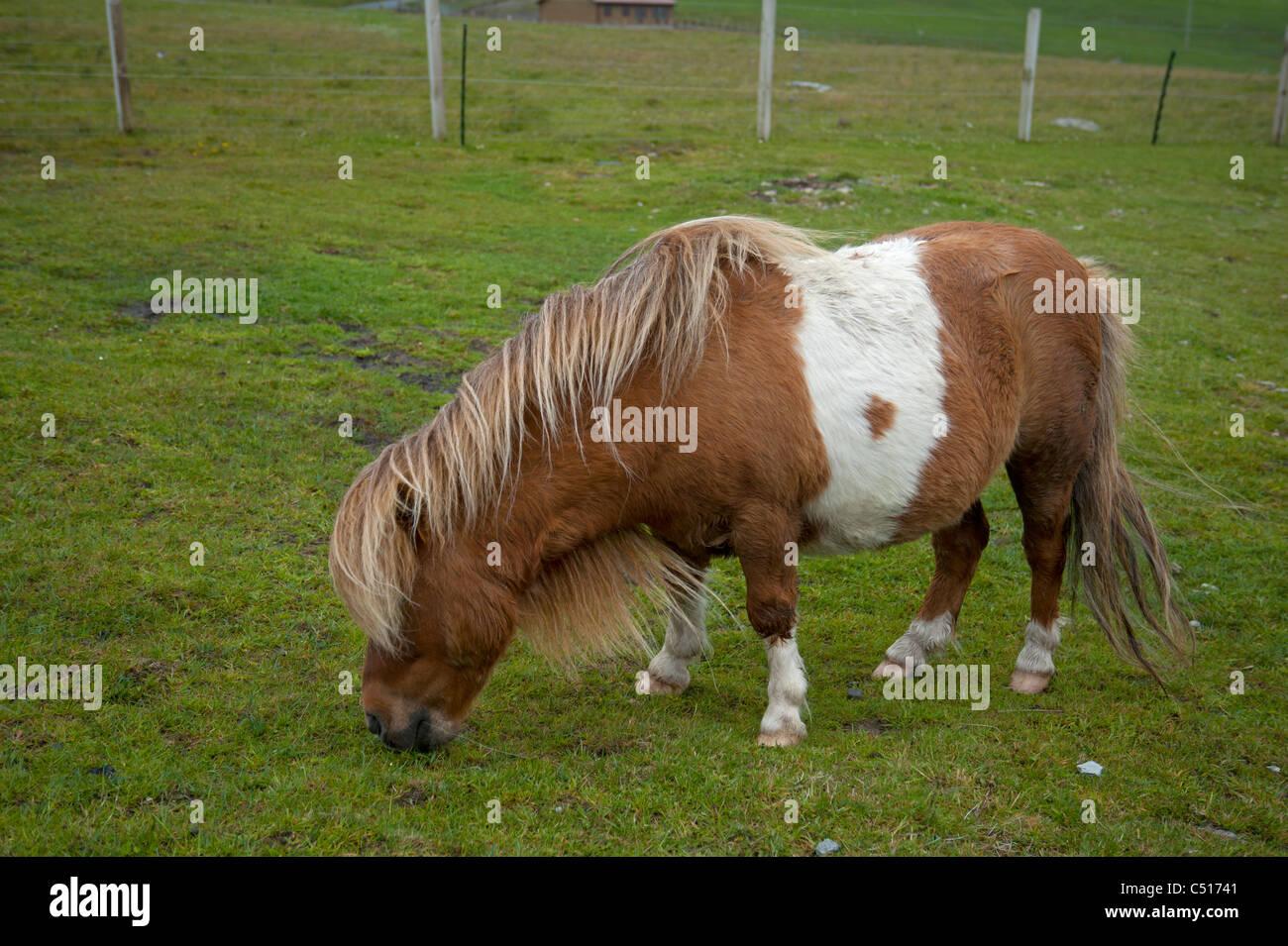 Shetland-Pony in der Nähe von Brücke Wände, Mainland, Shetland. SCO 7416 Stockbild