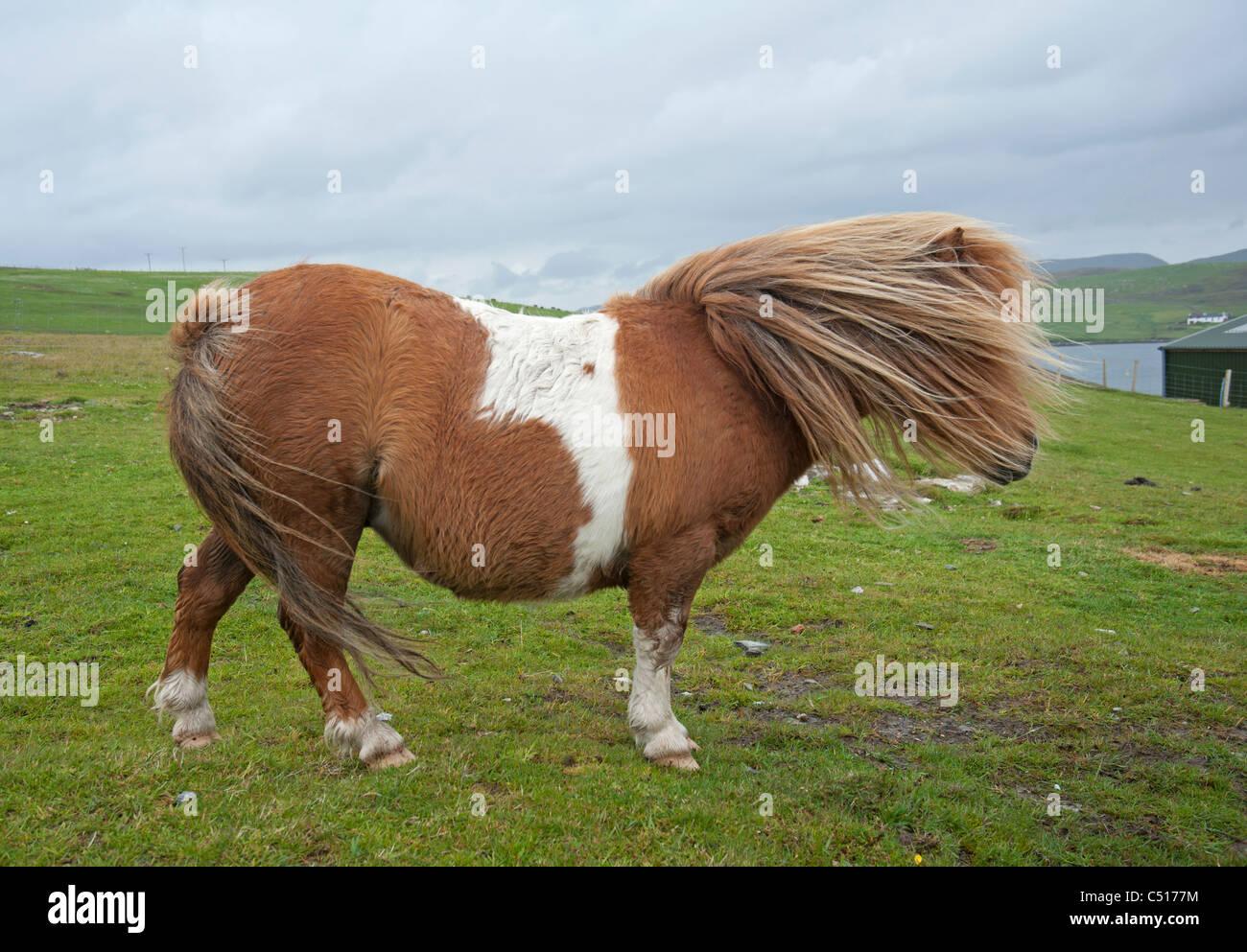 Shetland-Pony in der Nähe von windigen Brücke Wände, Mainland, Shetland. SCO 7418 Stockbild