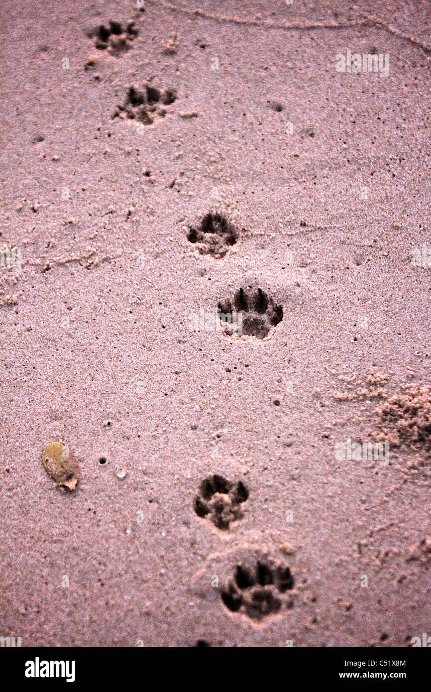 Hyänen verfolgt die Spuren im Sand am Strand Saadani Nationalpark Tansania Afrika Stockbild
