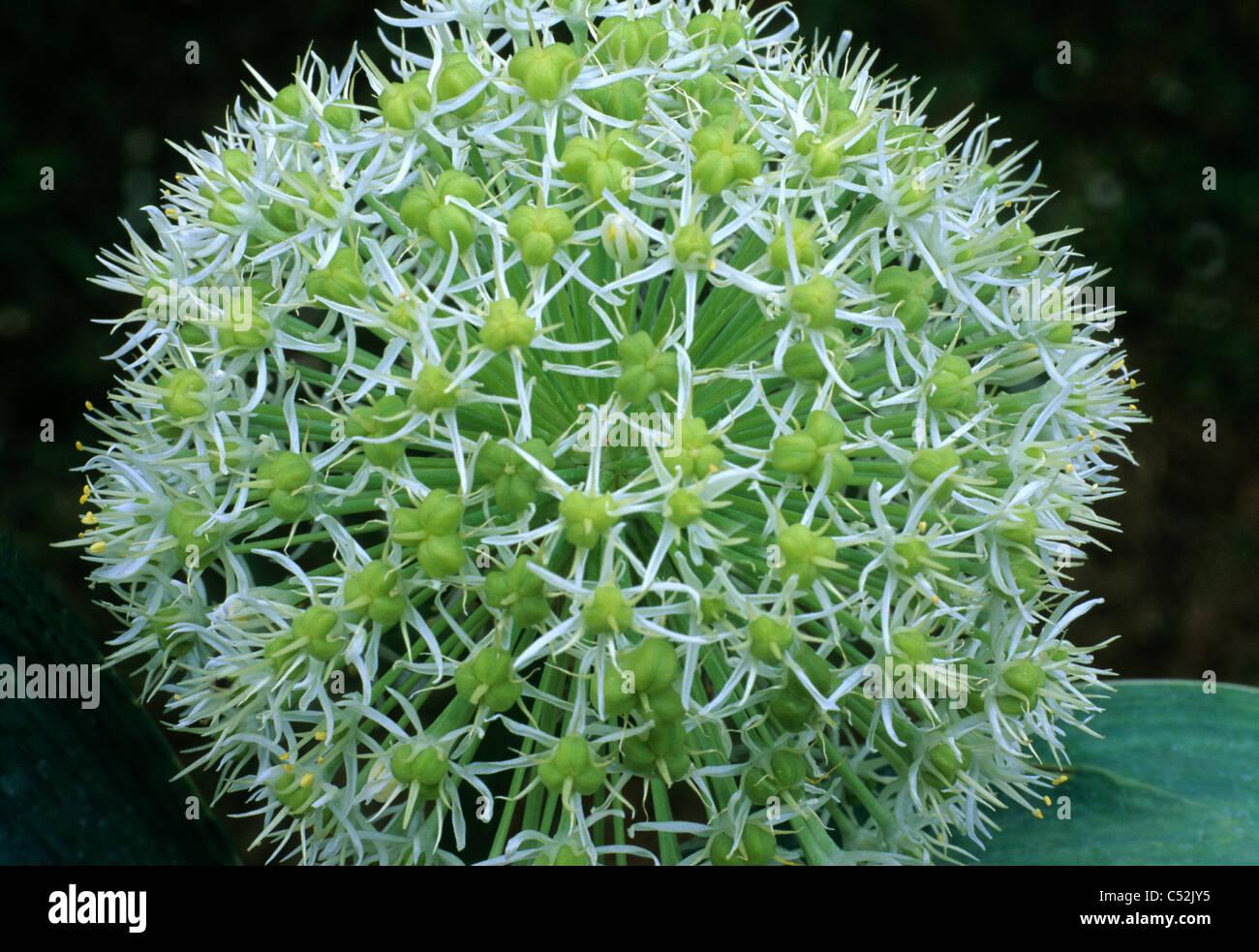 allium karataviense 39 ivory queen 39 alliums gartenpflanze pflanzen creme blume blumen zwiebel. Black Bedroom Furniture Sets. Home Design Ideas