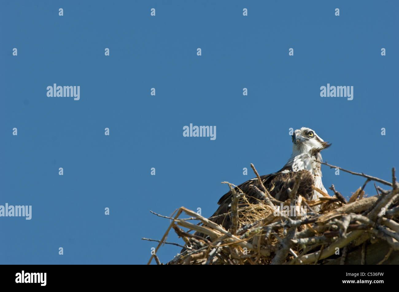 Fischadler Vogel im nest Stockbild