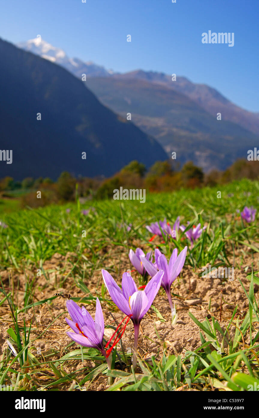 Bergwiese mit blühenden Herbst-Krokusse, Safran Blumen, Crocus Sativus, Munder, Wallis, Schweiz Stockbild