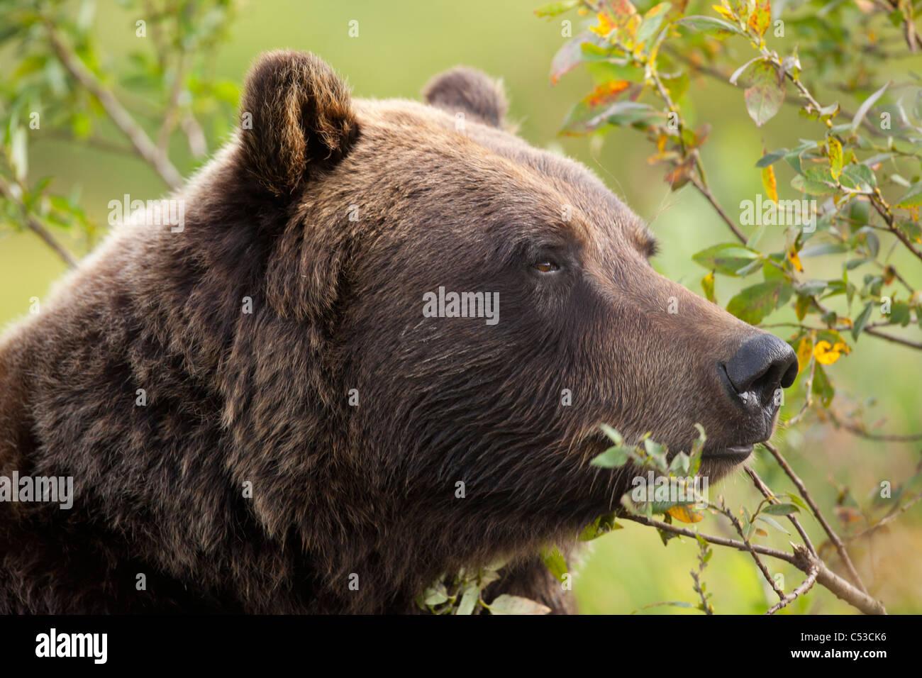 Profil von einer Erwachsenen Braunbär Leistungsbeschreibung unter grünen Pinsel im Alaska Wildlife Conservation Stockfoto