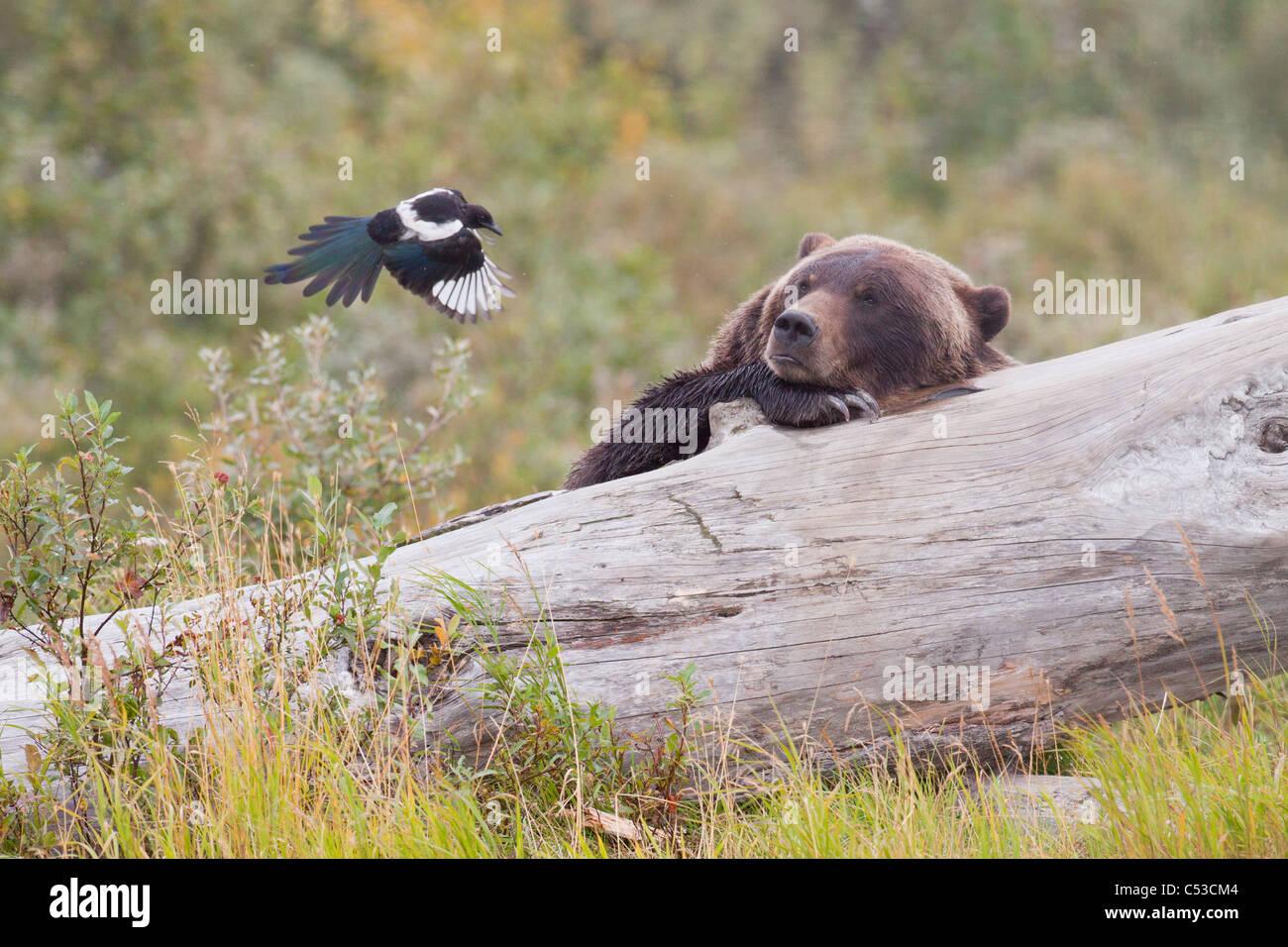 Grizzly Bear liegt auf einem Baumstamm und Uhren eine Elster, ein paar Schritte entfernt, Alaska Wildlife Conservation Stockbild
