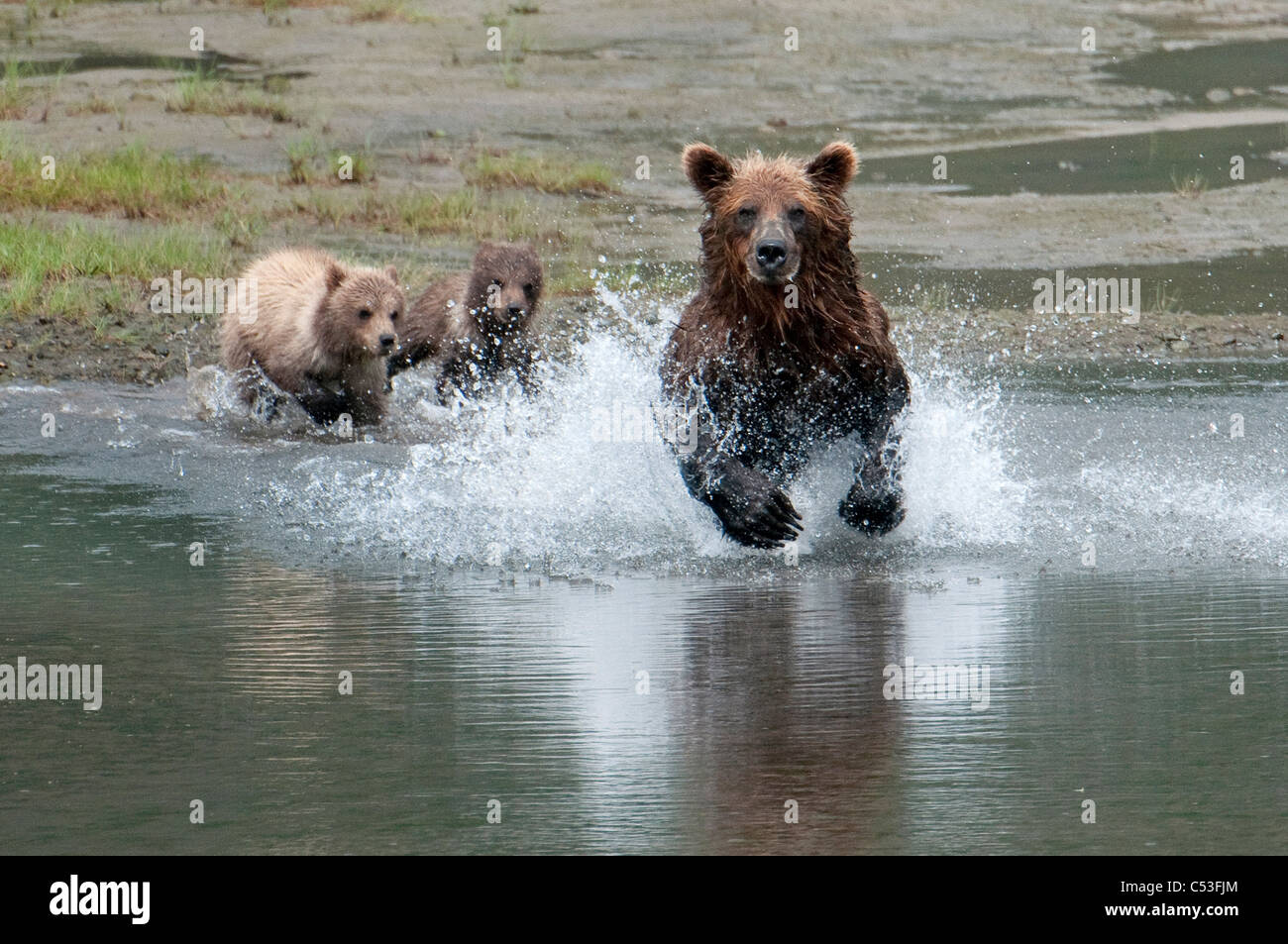 Braunbär Sau jagt Lachse beobachten ihre jungen vom Strand, Chinitna Bay, Lake Clark National Park, Südwest-Alaska Stockfoto