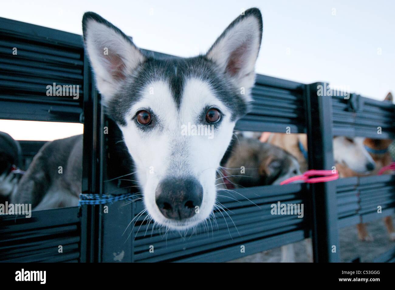 Nahaufnahme von einem Alaskan Husky warten darauf, in ein Flugzeug für den Transport, Tore der Arctic National Stockbild