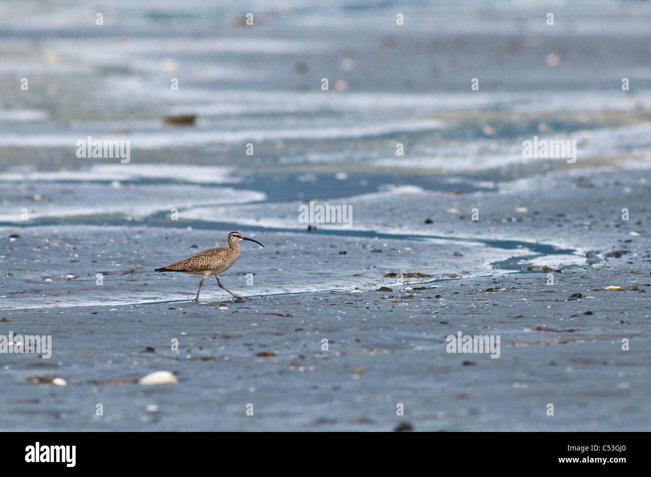 Ein einsamer Regenbrachvogel Spaziergänge Watt Hartney Bay, Cordova, Prinz-William-Sund, Yunan Alaska, Frühling Stockbild