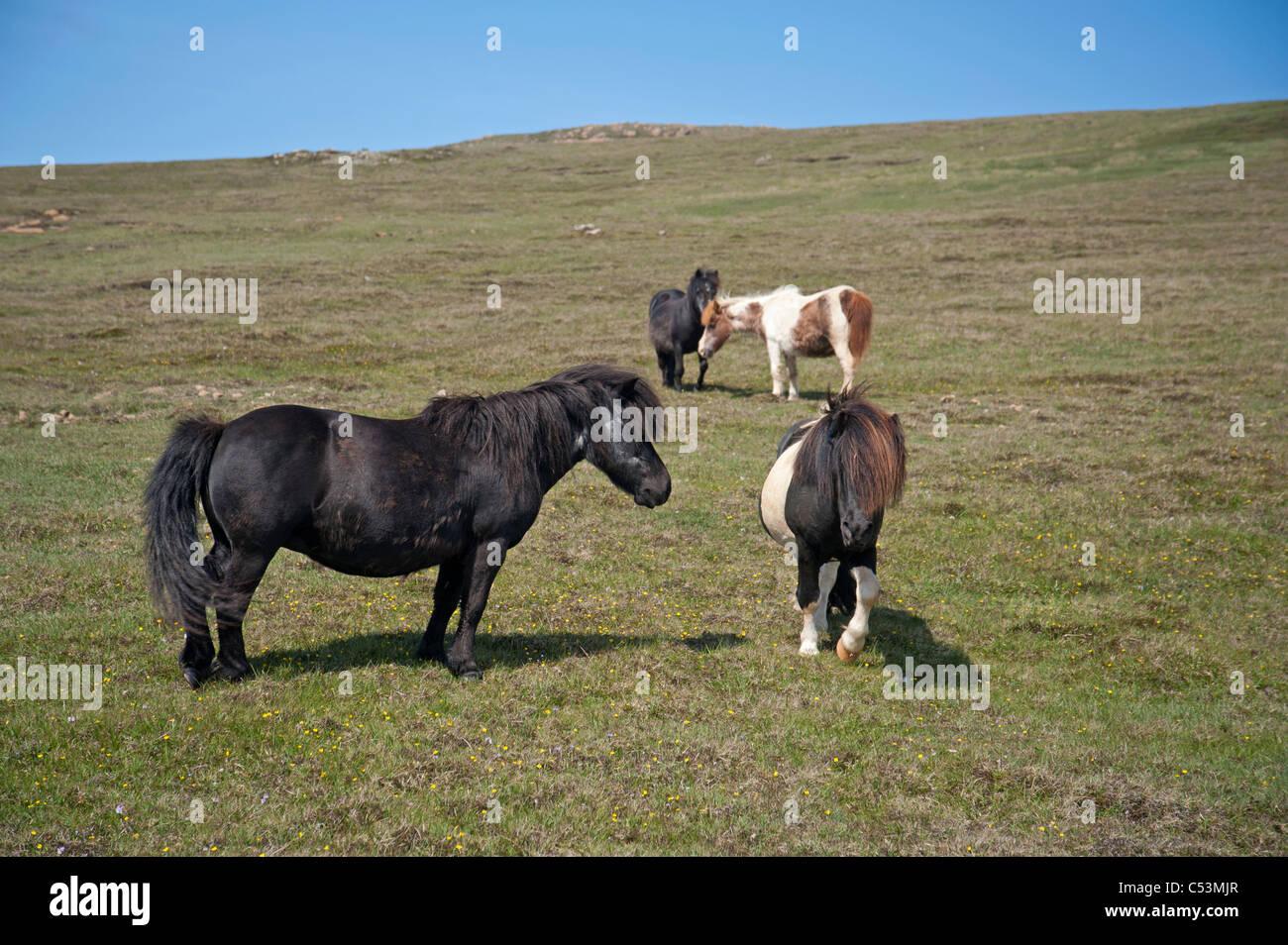 Shetland-Ponys Weiden auf hochgelegenen Weiden, Baltasound, Unst, Shetland-Inseln, Schottland. SCO 7478 Stockbild