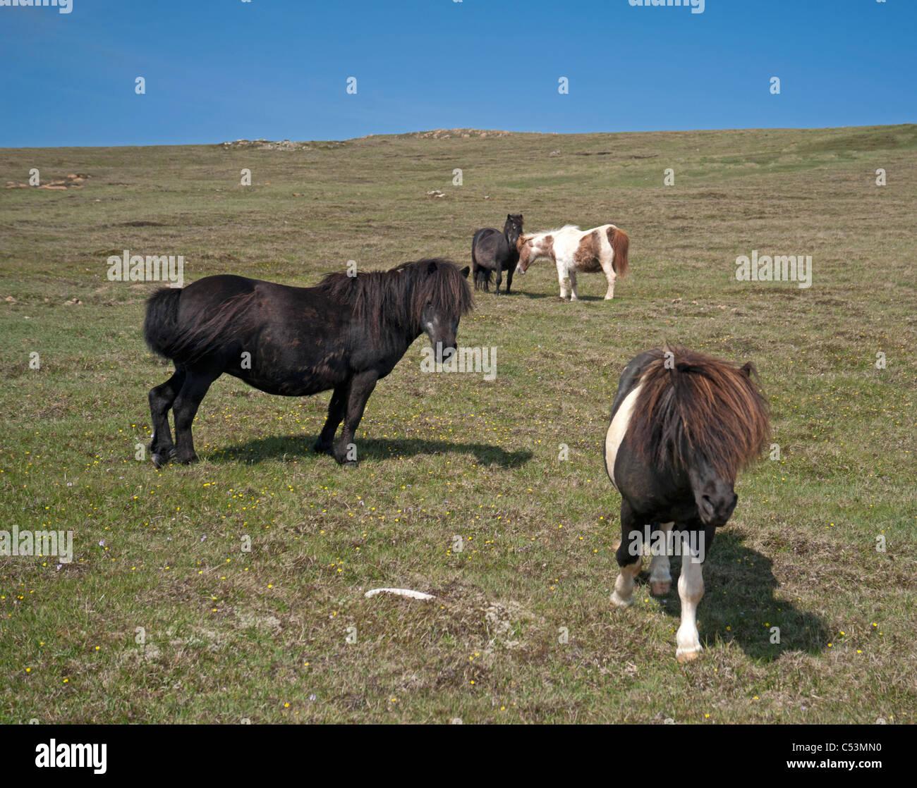 Shetland-Ponys Weiden auf hochgelegenen Weiden, Baltasound, Unst, Shetland-Inseln, Schottland. SCO 7479 Stockbild